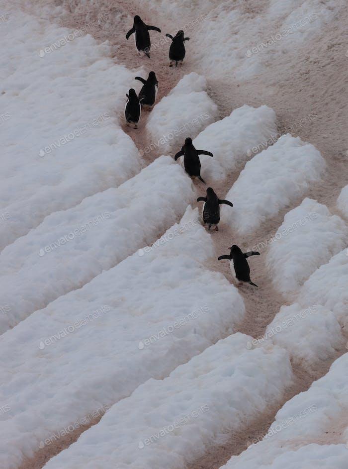 Gentoo Pinguine, Antarktis