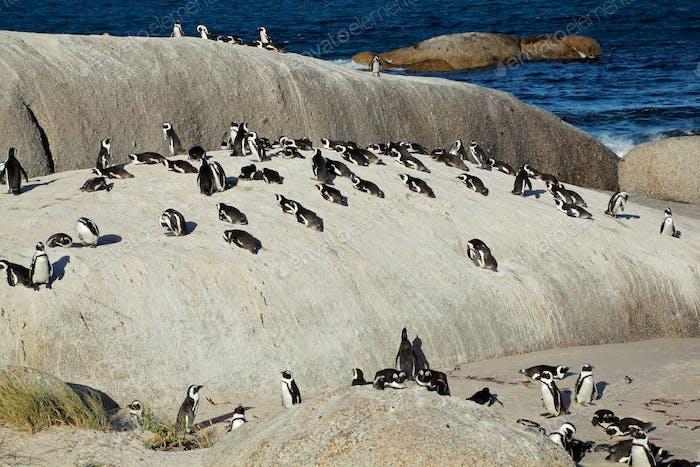 African penguins