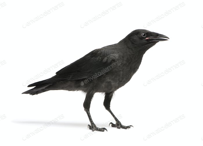 Young Carrion Crow - Corvus corone (3 months)
