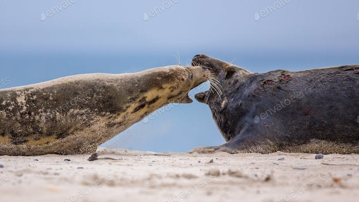 Fighting Grey seals on beach territory