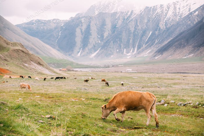 Red Cow Grazing On A Green Mountain Slope In Spring In Mountains