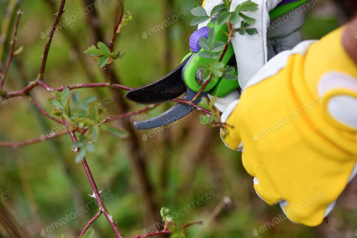 Spring pruning roses in the garden, gardener's hands with secateur