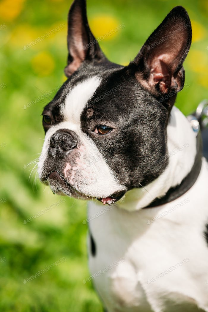 Close Up Portrait Of Young Boston Bull Terrier Dog Outdoor In Green Spring Meadow With Yellow