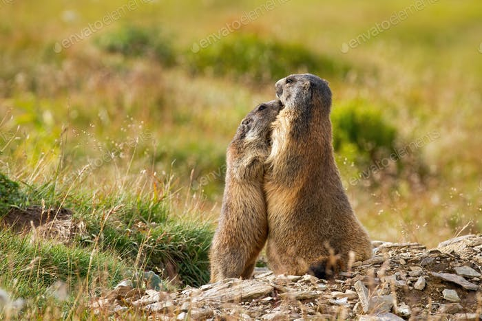 Alpine marmots hugging and touching with noses near den