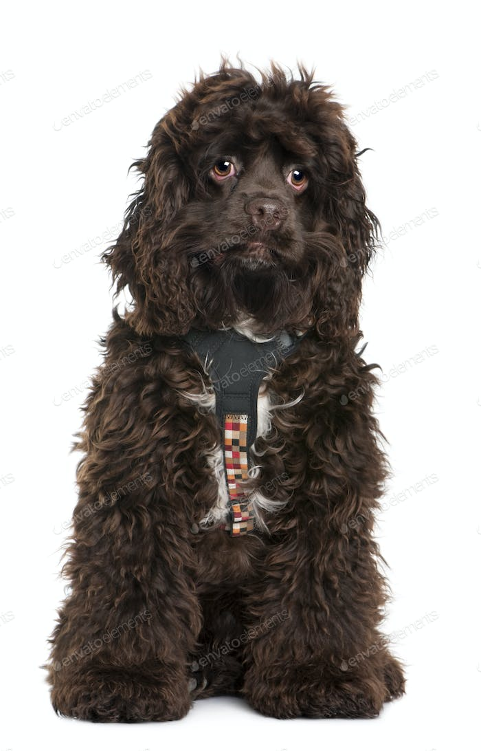 American cocker spaniel, 7 months old, wearing leash in front of white background