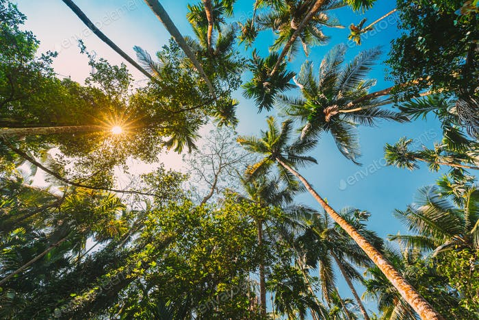 Goa, India. Bottom View Of Sun Shine Through Tropical Green Vegetation And Palm Trees. Blue Sky In