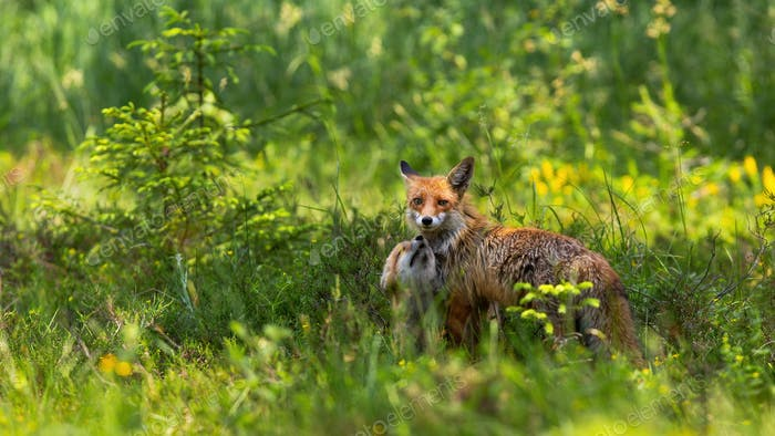 Affectionate red fox cub snuggling to mother on green meadow at sunrise