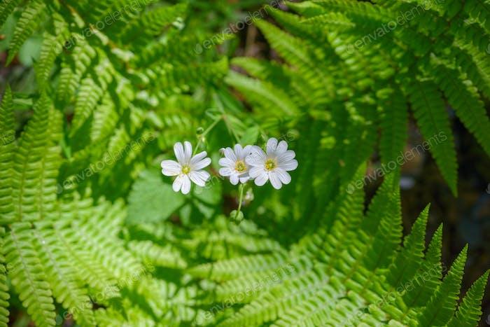 Drei weiße Blumen