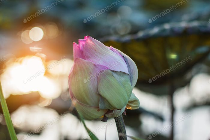 lotus withered with sunlight