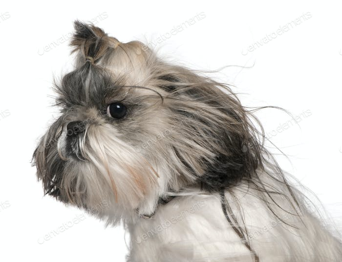 Close-up headshot of Shih tzu in the wind, 4 years old, in front of white background