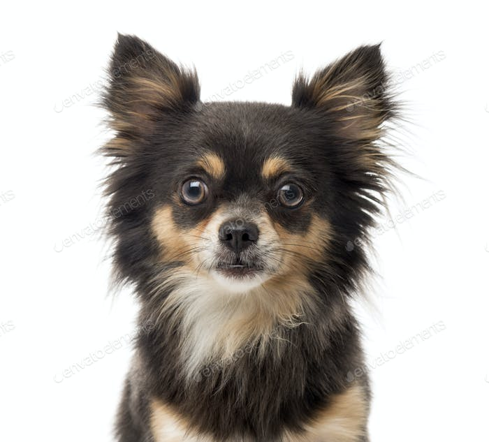 Close-up of a Chihuahua in front of a white background