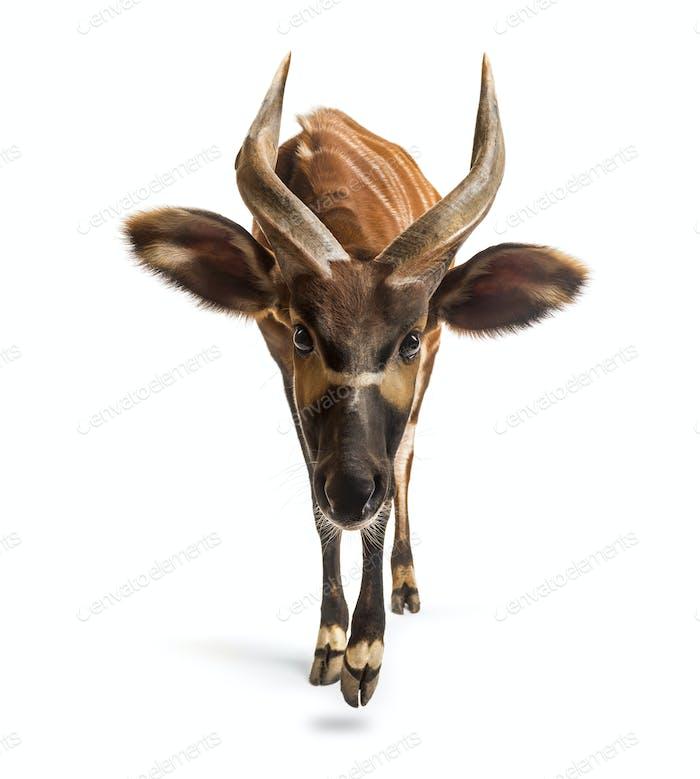 Bongo, antelope, Tragelaphus eurycerus walking against white background