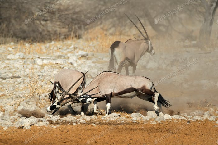 Fighting gemsbok antelopes