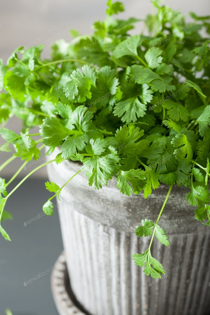fresh cilantro herb in pot