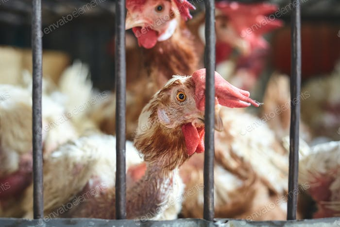 Suffering. Wounded roosters kept in cage at local market,