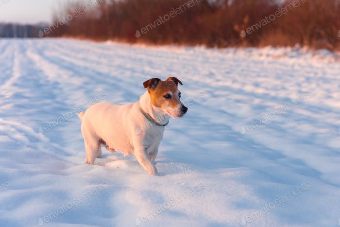 White jack russel terrier puppy on snowy field