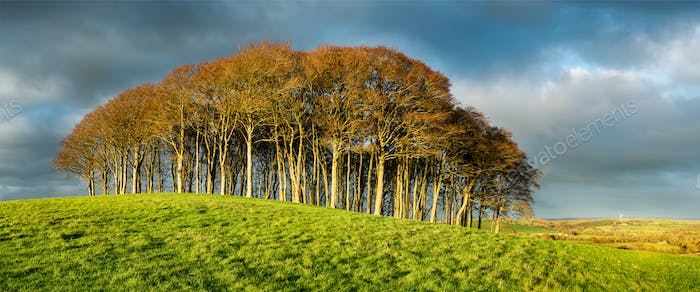 Stand of Beech Trees Under a Dramatic Sky