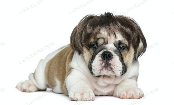 English bulldog puppy wearing a wig in front of white background