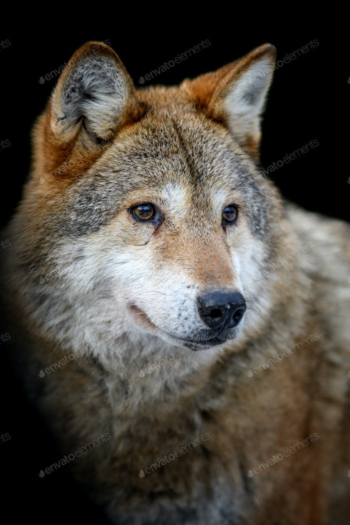 Close up view Wolf portrait. Wild animal on a black background