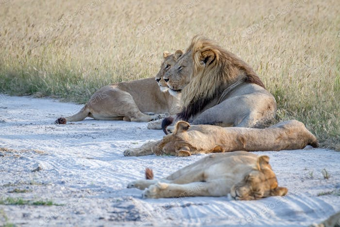 Pride of Lions laying in the sand.