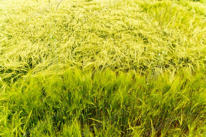 Field of green wheat. Agriculture concept