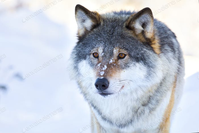 Close-up portrait of a wolf in the winter