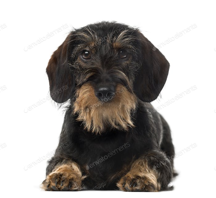 Dachshund (8 years old) in front of a white background