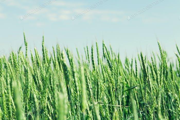 Green wheat field blue sky
