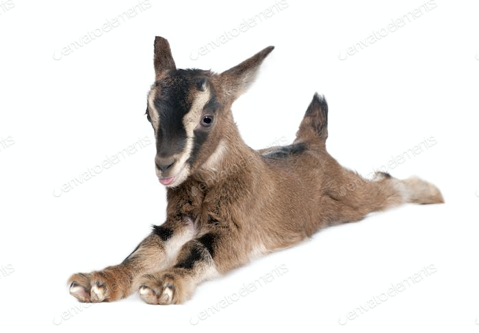 brown Young Goat lying down (3 weeks old)