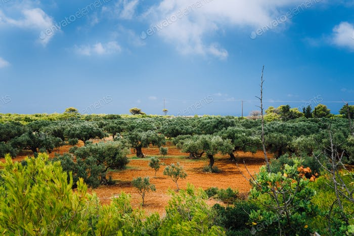 Greece islands landscape with agriculture fields of olives on red clay soil