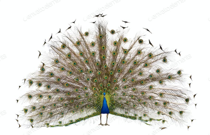 Front view of Male Indian Peafowl displaying tail feathers in front of white background
