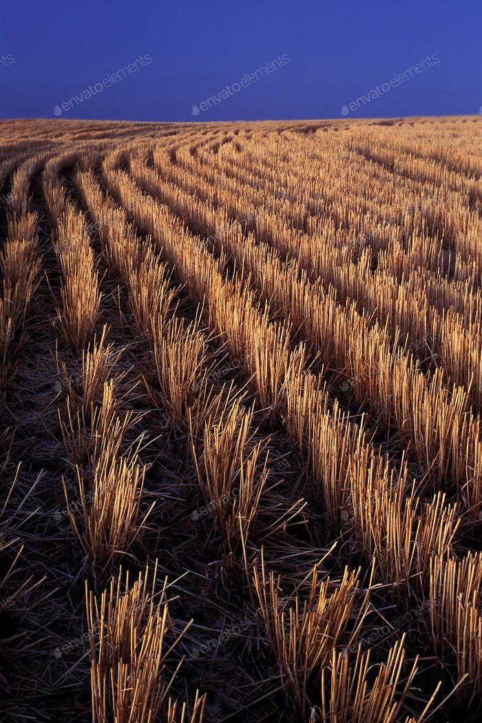 Rows of harvested barley in farm field