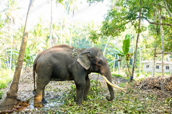 Ceylon wild elephant in tropical jungle