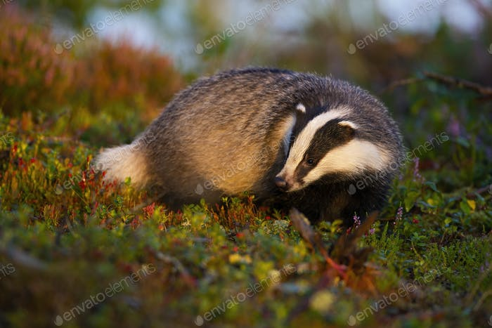 Thoughtful european badger looking for food in moorland at sunrise in summer