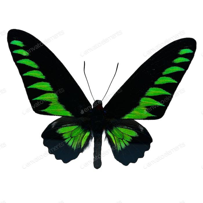 Rajah Brookiana Schmetterling