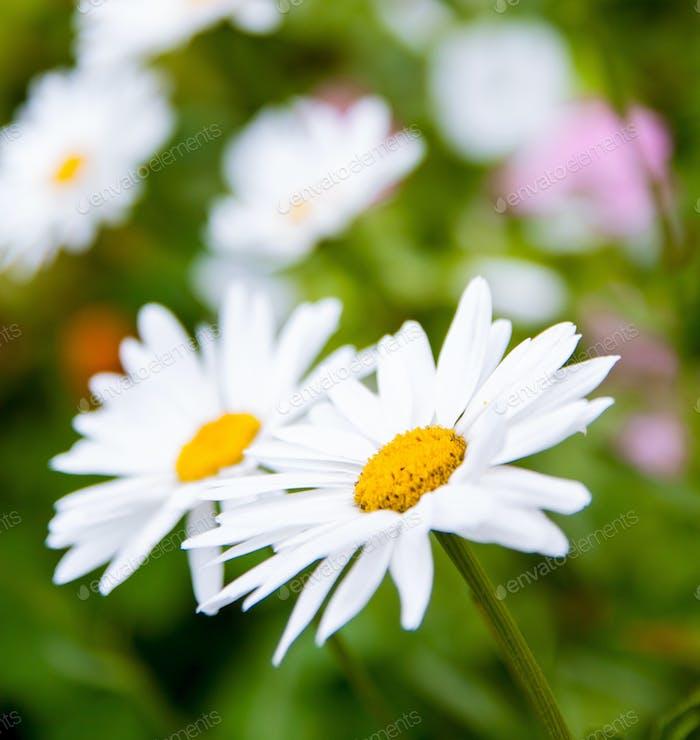 weiße Gänseblümchen Blumen