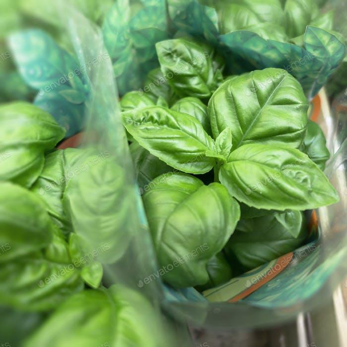 Fresh basil in pots