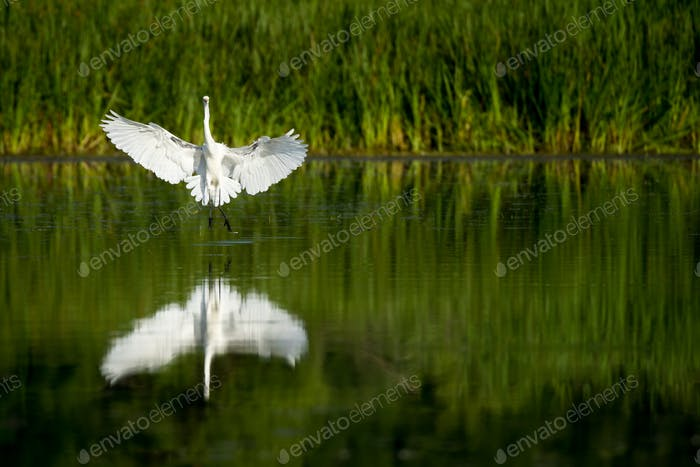 Great Egret - Ardea alba, flying to a landing in a marsh.