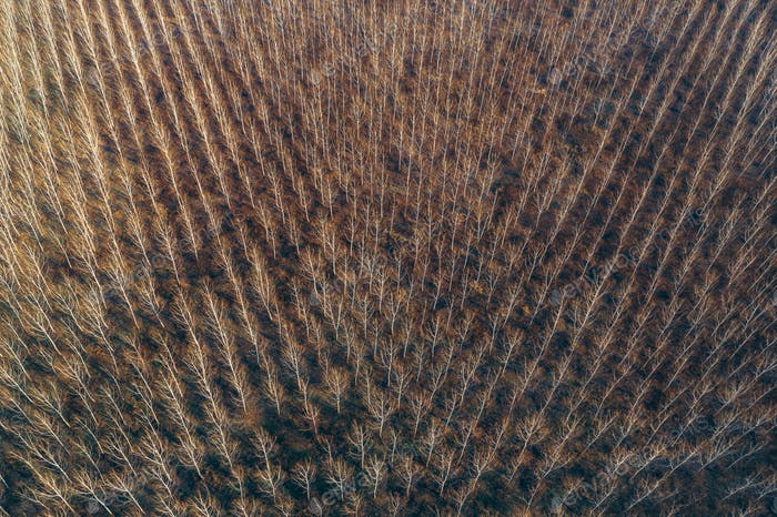 Aerial photography of cottonwood forest in winter