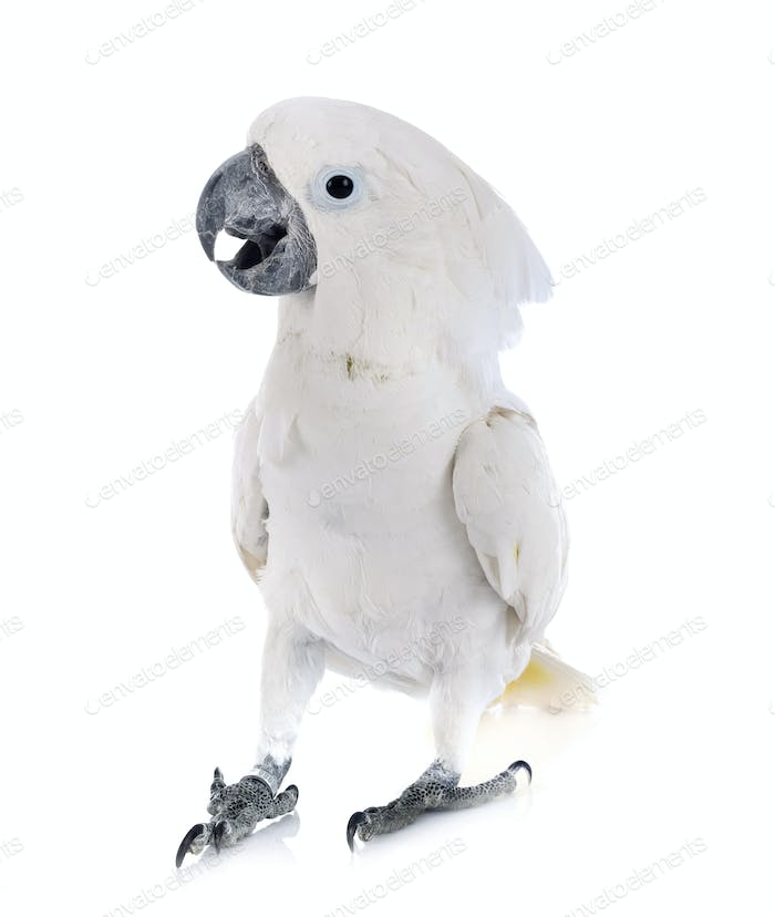 White cockatoo in studio