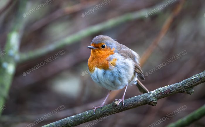 European Robin Perched in England