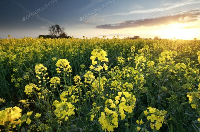 sunset sunshine over rapeseed field
