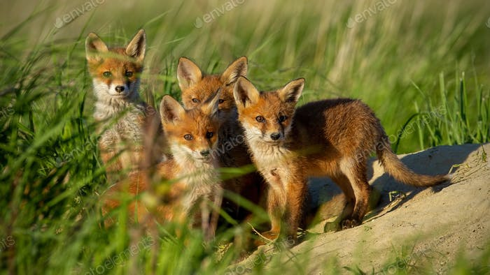 Red fox small young cubs near den curiously staring to camera
