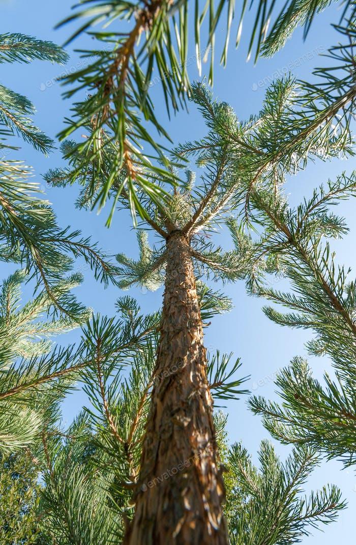 pine trees climbing into a blue sky