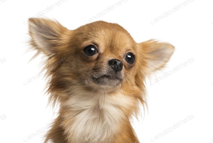 Thumbnail for Close-up of a Chihuahua, 1 year old, isolated on white