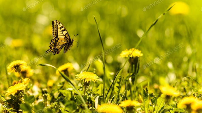 Yellow Butterfly above spring meadow and sow-thistle