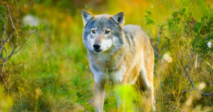 Large male grey wolf in autumn colored field in the forest