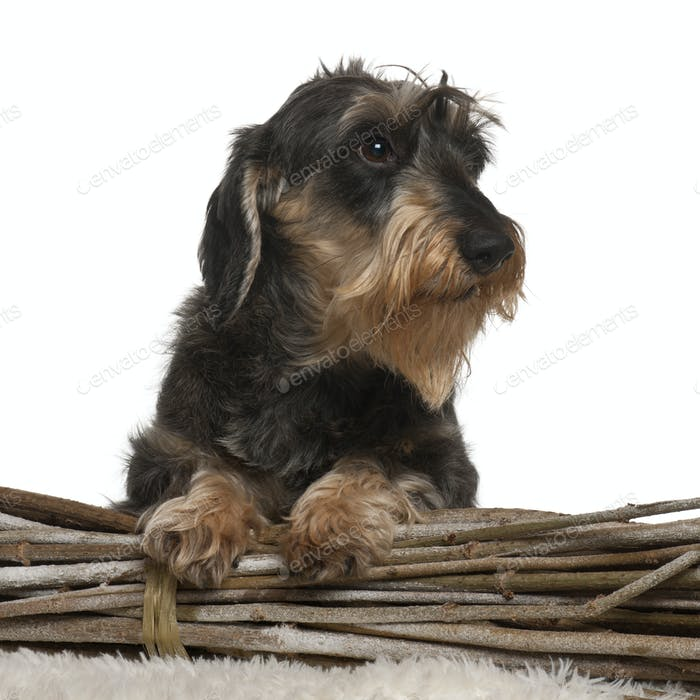 Dachshund, 8 years old, in front of white background