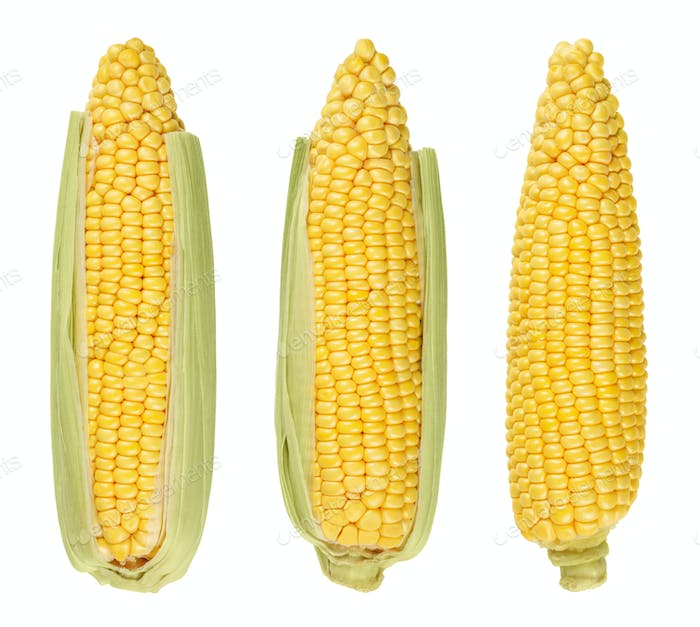 Three husked cobs of sweet corn, isolated, over white