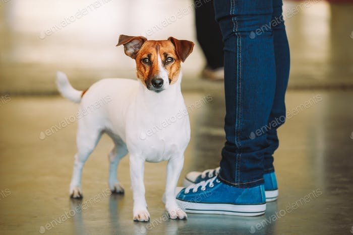 White Dog Jack Russell Terrier Is At The Feet Of Owner. The Jack